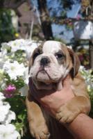 Wundersch�ne Englische Bulldogge Welpen zu verkaufen
