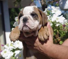 Foto 2 Wunderschöne Englische Bulldogge Welpen zu verkaufen