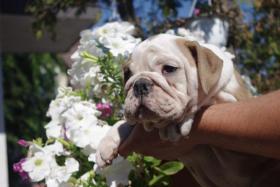 Foto 4 Wundersch�ne Englische Bulldogge Welpen zu verkaufen
