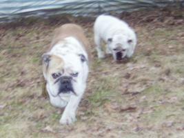 Wunderschöne Englische Bulldoggen