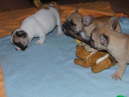 Wunderschöne Französische Bulldoggen Welpen ( Schokoträger )!!!