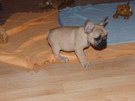 Foto 2 Wunderschöne Französische Bulldoggen Welpen ( Schokoträger )!!!