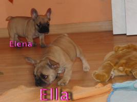 Foto 3 Wunderschöne Französische Bulldoggen Welpen ( Schokoträger )!!!