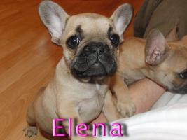 Foto 6 Wunderschöne Französische Bulldoggen Welpen ( Schokoträger )!!!