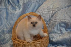Foto 2 Wunderschöne Heilige Birma Kitten mit Papieren NRW