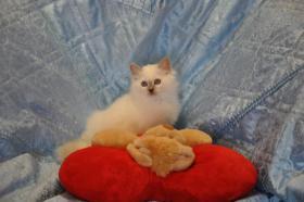 Foto 4 Wunderschöne Heilige Birma Kitten mit Papieren NRW