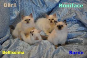 Foto 5 Wunderschöne Heilige Birma Kitten mit Papieren NRW