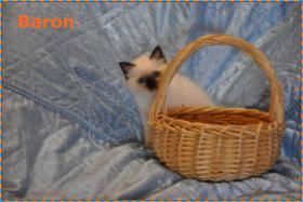 Foto 6 Wunderschöne Heilige Birma Kitten mit Papieren NRW