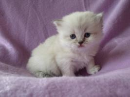 Foto 2 Wundersch�ne Highlander Kitten mit Stammbaum