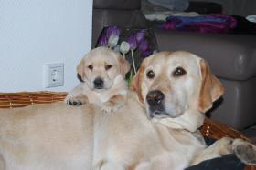 Foto 3 Wunderschöne Labrador Retriever Welpen suchen liebevolle Famillie