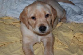 Foto 6 Wunderschöne Labrador Retriever Welpen suchen liebevolle Famillie