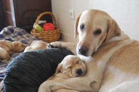 Foto 8 Wunderschöne Labrador Retriever Welpen suchen liebevolle Famillie