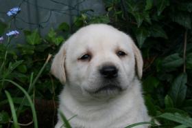 Wunderschöne Labradorwelpen-typvoll und sehr gesund