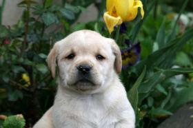 Foto 2 Wunderschöne Labradorwelpen-typvoll und sehr gesund