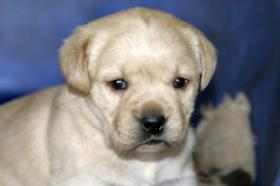 Foto 3 Wunderschöne Labradorwelpen-typvoll und sehr gesund