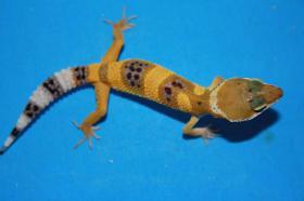 Foto 2 Wunderschöne Leopardgecko NZ 2010 günstig abzugeben