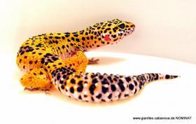 Wunderschöne Leopardgeckos Abzugeben *VERSAND MÖGLICH*