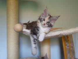 Wunderschöne Maine Coon Kätzchen