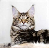 Foto 2 Wunderschöne Maine Coon Kätzchen