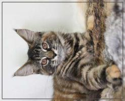 Foto 4 Wunderschöne Maine Coon Kätzchen
