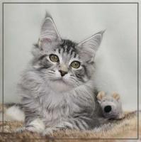Foto 6 Wunderschöne Maine Coon Kätzchen