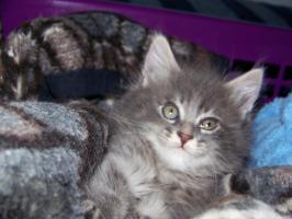 Foto 2 Wunderschöne Maine Coon Kitten o.P.