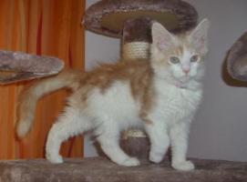 Foto 3 Wunderschöne Maine Coon Kitten, mit Stammbaum
