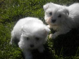 Wunderschoene Malteser-Puppies