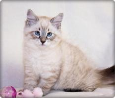 Wunderschöne Neva Masquarade Kitten