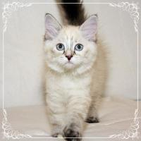 Foto 4 Wunderschöne Neva Masquarade Kitten