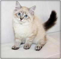Foto 5 Wunderschöne Neva Masquarade Kitten