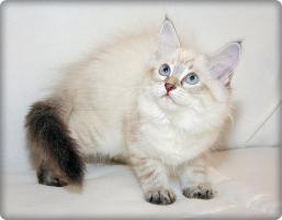 Foto 6 Wunderschöne Neva Masquarade Kitten