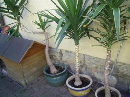 Wunderschöne Palmen sehr dekorativ 3 Stück