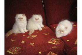 Foto 3 Wunderschöne Perserbabys
