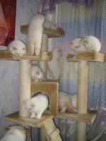 Foto 6 Wunderschöne Perserbabys