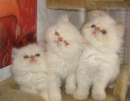Foto 7 Wunderschöne Perserbabys