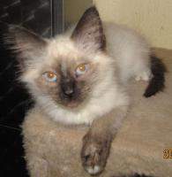 Foto 2 Wunderschöne Ragdoll Kitten