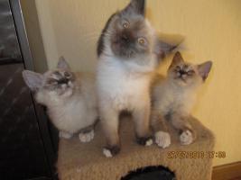 Foto 3 Wunderschöne Ragdoll Kitten