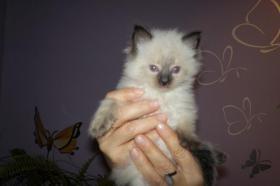 Wundersch�ne Ragdoll Kitten mit blauen Augen