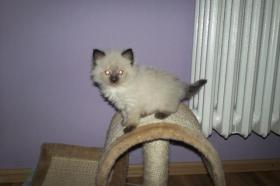 Foto 2 Wunderschöne Ragdoll Kitten mit blauen Augen