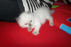 Foto 3 Wundersch�ne Ragdoll Kitten mit blauen Augen