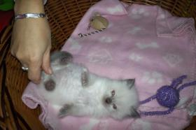 Foto 4 Wundersch�ne Ragdoll Kitten mit blauen Augen