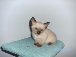Wunderschöne Siamkatzen zu verkaufen