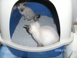 Foto 4 Wunderschöne Siamkatzen zu verkaufen
