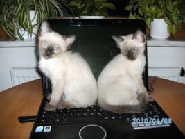 Foto 5 Wunderschöne Siamkatzen zu verkaufen
