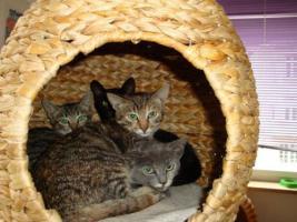 Foto 7 Wunderschöne Stubentiger suchen ein Zuhause