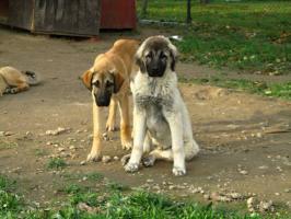 Foto 2 Wunderschöne Welpen Anatolischer Hirtenhund mit Papiere