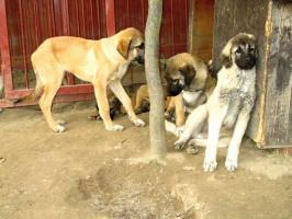 Foto 3 Wunderschöne Welpen Anatolischer Hirtenhund mit Papiere