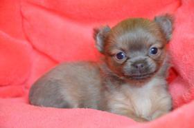 Wunderschöne Welpen Chihuahua und Y-t Biewer und biro