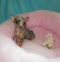 Foto 3 Wunderschöne Welpen Chihuahua und Y-t Biewer und biro